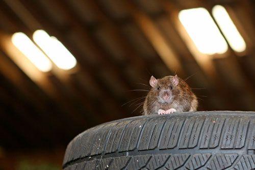 Крысы в гараже